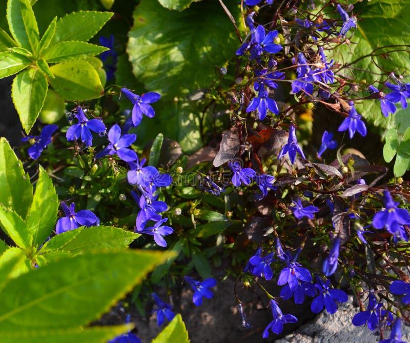 Цветок весны Nemophila стоковые изображения rf