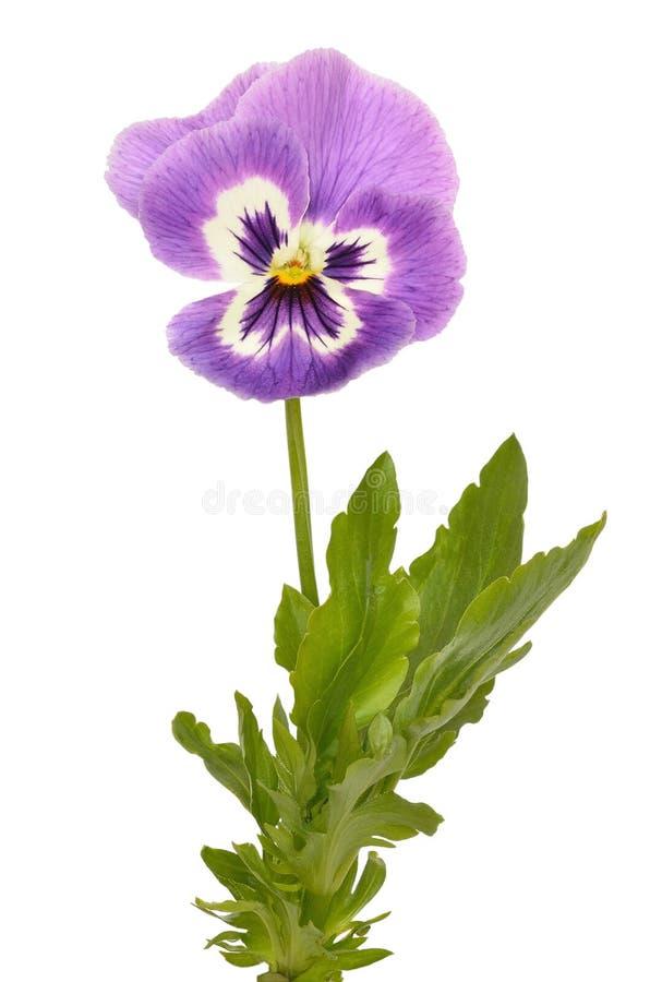 Цветок Виолы Pansies tricolor стоковое изображение