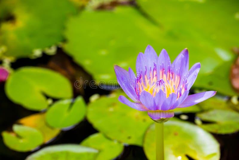 цветок воды лилии в пруде красивый цветок воды лилии поздравлять богатыми цветами поверхности темносиней воды стоковая фотография rf