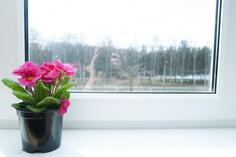 Цветок в баке на windowsill, розовый primula стоковые изображения rf