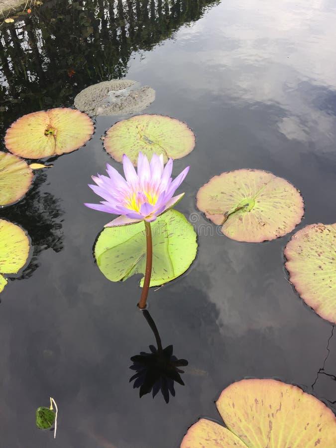 Цветок в озере стоковые изображения rf