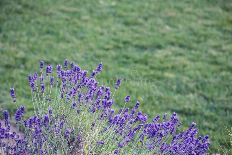 Цветок в саде, парк лаванды, задворк, цветение луга в th стоковые изображения