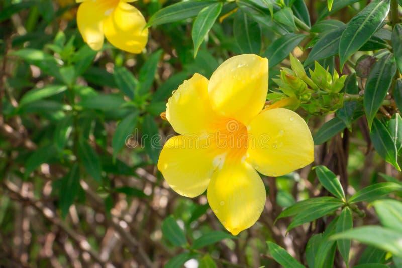 Цветок в chiangmai Таиланде стоковая фотография