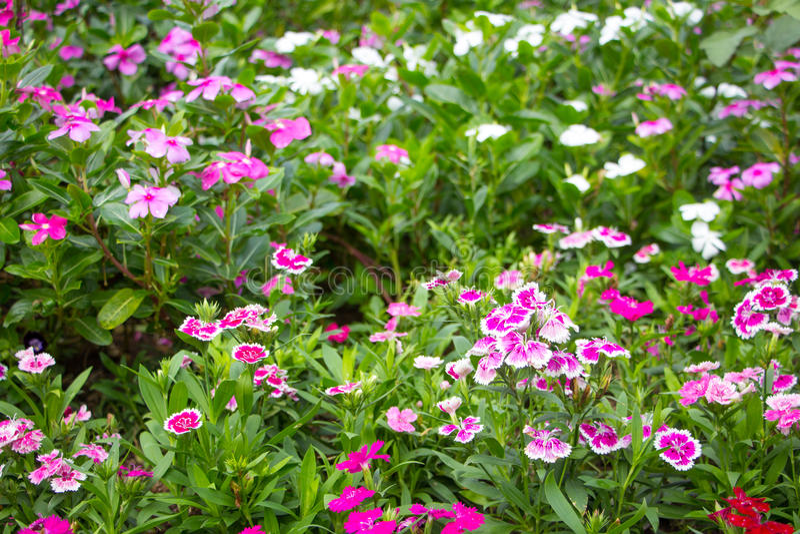 Цветок в chiangmai Таиланде стоковые изображения