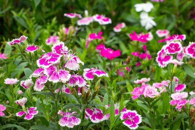 Цветок в chiangmai Таиланде стоковые изображения rf