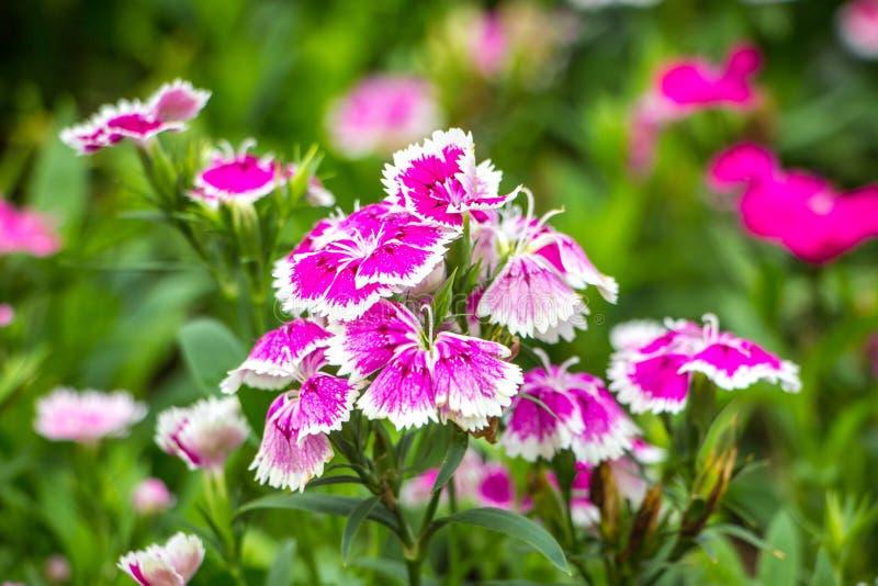 Цветок в chiangmai Таиланде стоковые фотографии rf