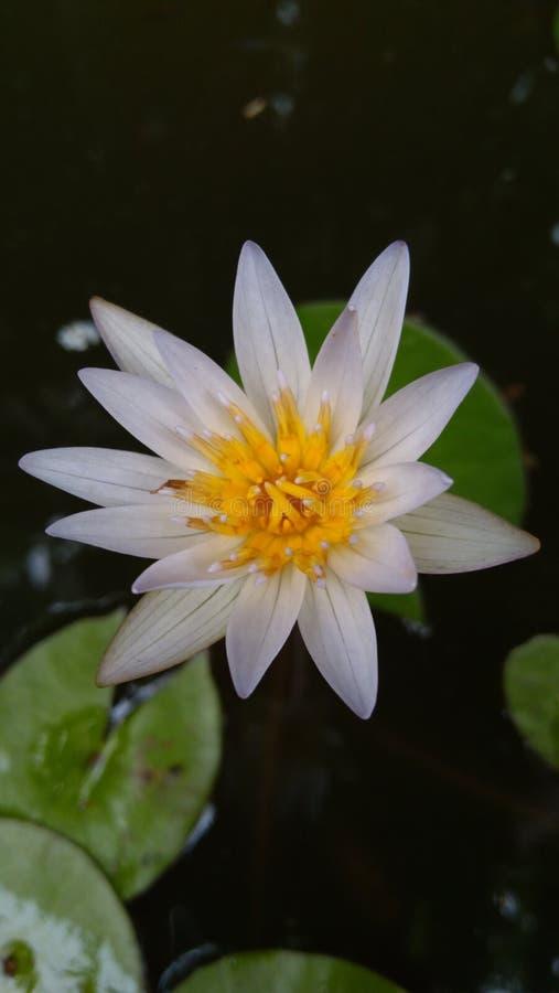 Цветок в Chiangmai стоковые фотографии rf