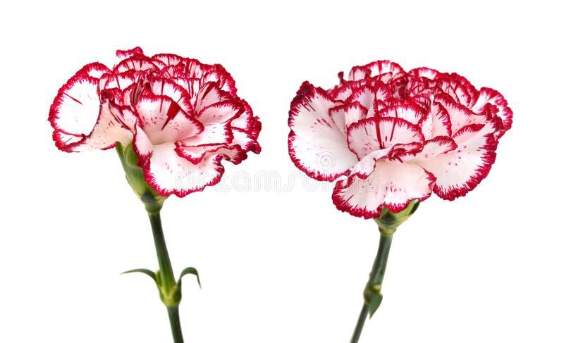 Цветок гвоздики стоковая фотография rf