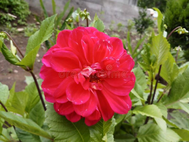 Цветок георгина национальный цветка Beautyful природы Maxico красного стоковое фото