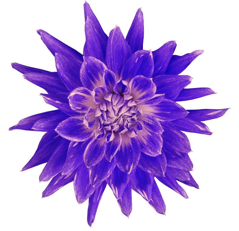 Цветок георгина сине-розов-фиолетовый, белая предпосылка изолированная с путем клиппирования closeup без теней Большой, запятнанн стоковое изображение