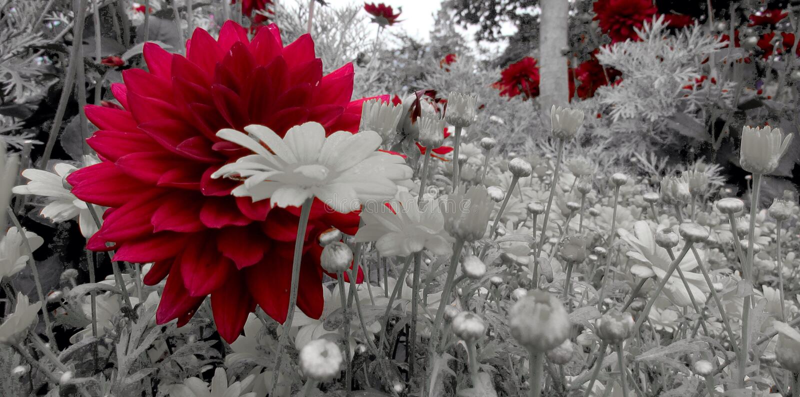 Цветок георгина стоковые изображения