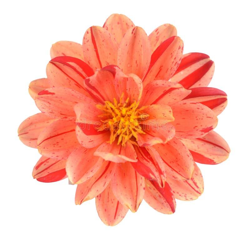 Цветок георгина стоковые фотографии rf