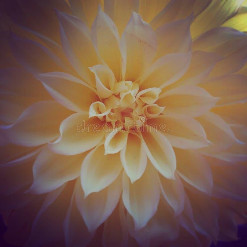 Цветок георгина стоковое изображение rf