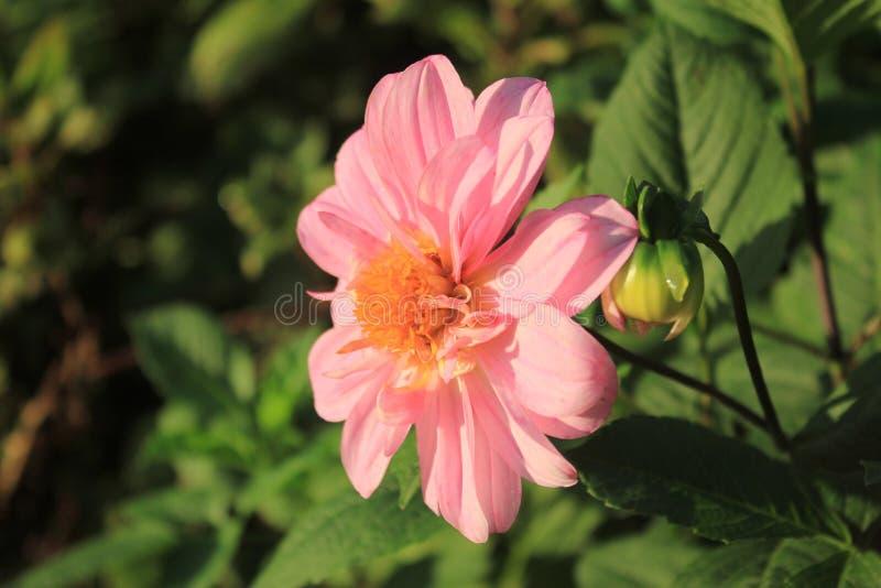 цветок георгин стоковое изображение