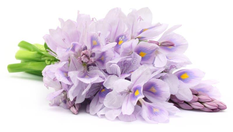 Цветок гиацинта воды стоковая фотография
