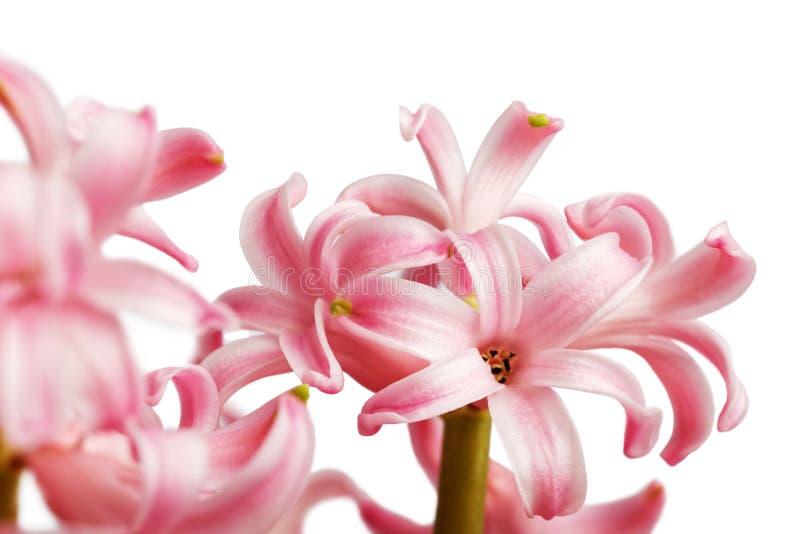 Цветок гиацинта крупного плана розовый изолированный на белизне стоковое изображение
