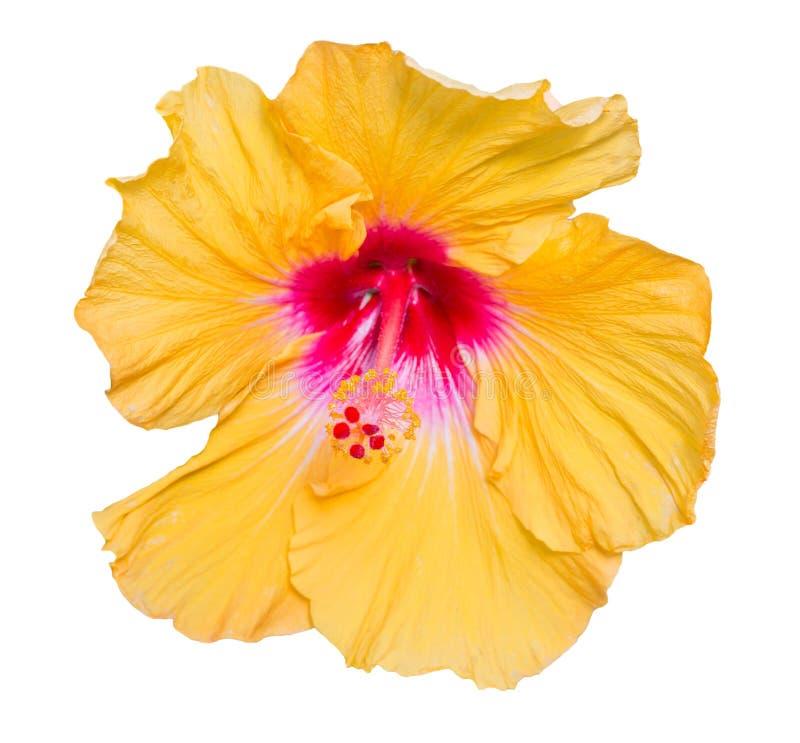 Цветок гибискуса желтый изолированный на белой предпосылке стоковое изображение