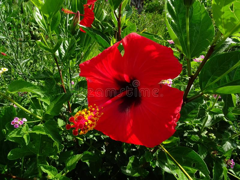 Цветок гибискуса на кусте стоковое фото