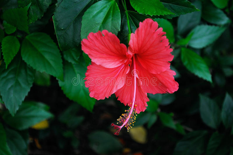 Цветок гибискуса стоковые фото