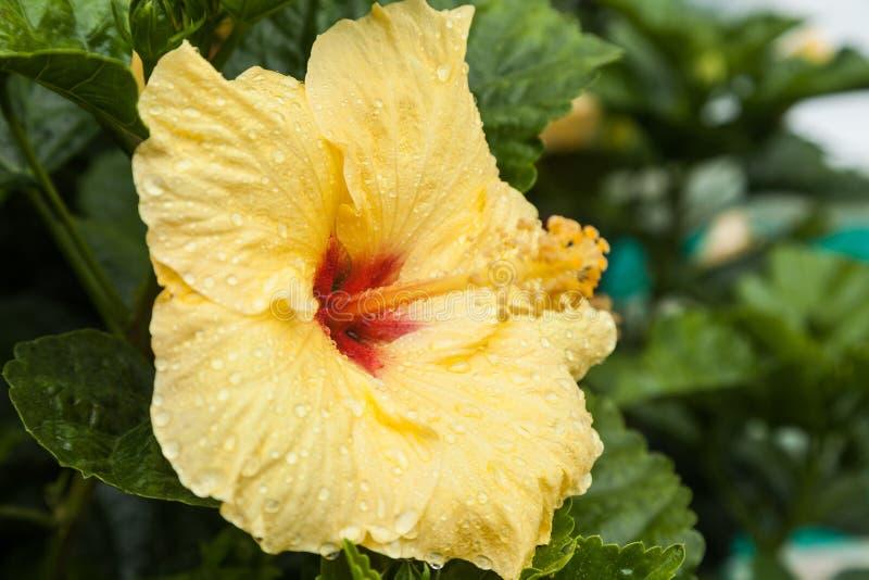 Цветок гибискус-желтого цветка стоковая фотография