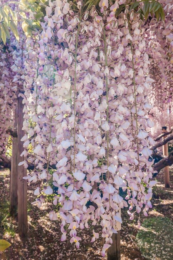 Цветок глицинии стоковая фотография rf