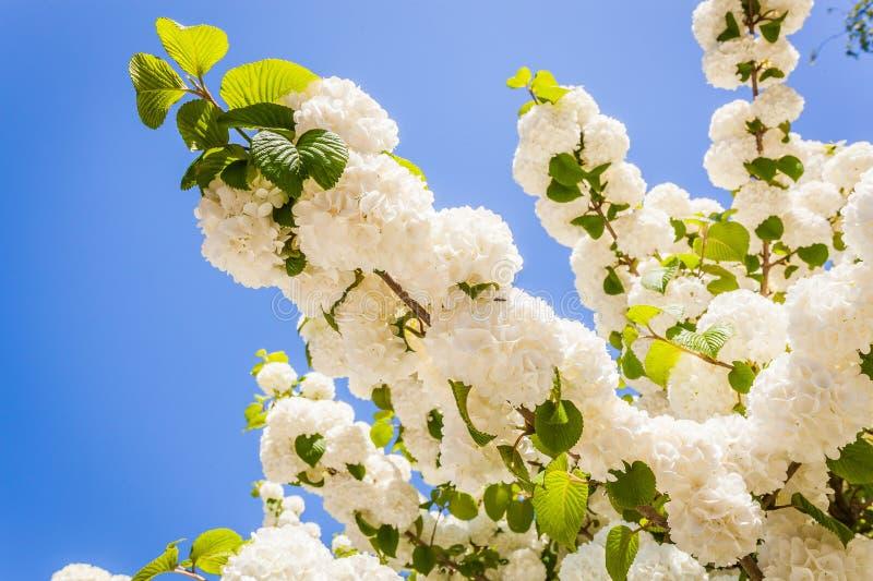Цветок глицинии стоковая фотография