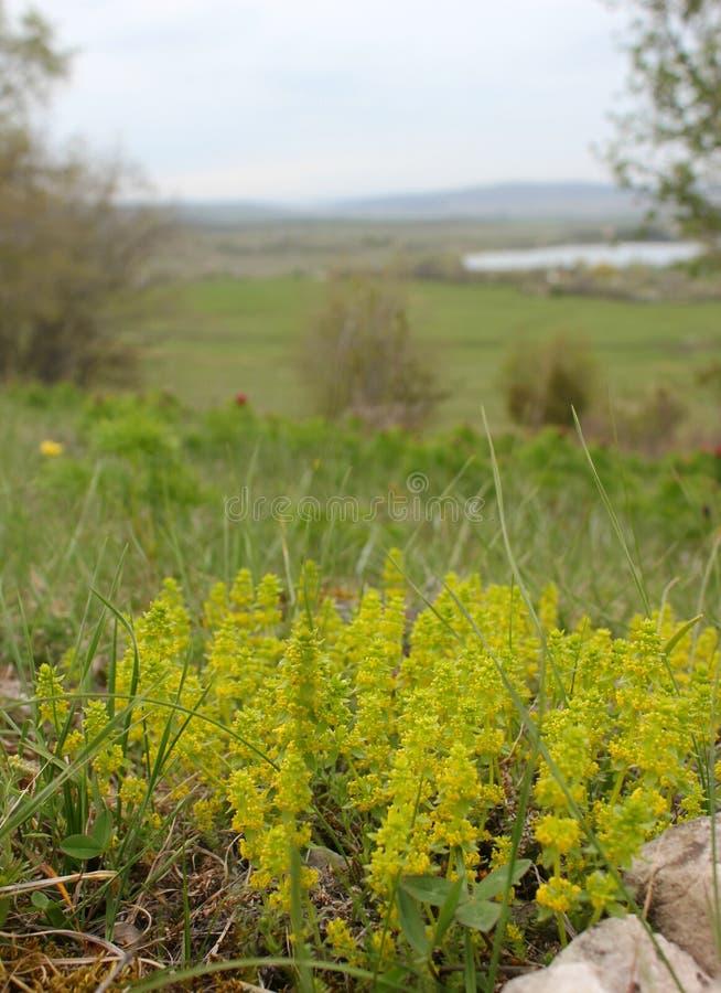 Цветок горы весной стоковое фото rf