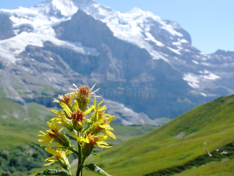 Цветок горы в швейцарском ландшафте стоковая фотография rf