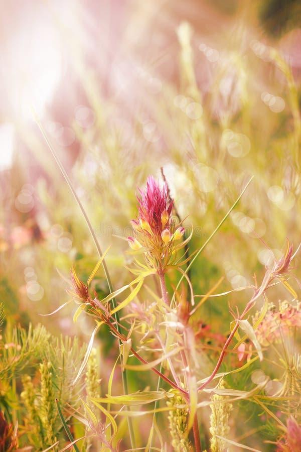 Цветок горы фиолетовый осветил лучами в поздно вечером стоковое изображение