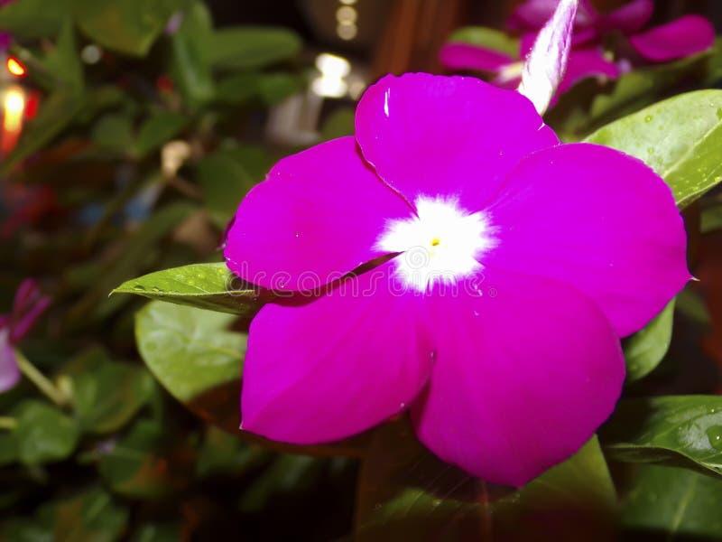 Цветок горячего пинка Impations, съемка ночи макроса стоковые фотографии rf