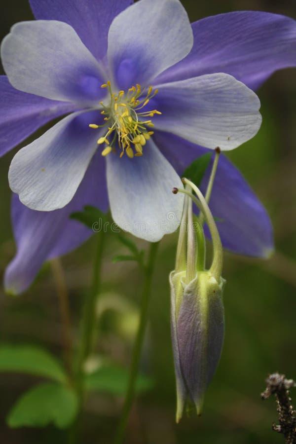 Цветок голубого Columbine в Колорадо стоковое изображение