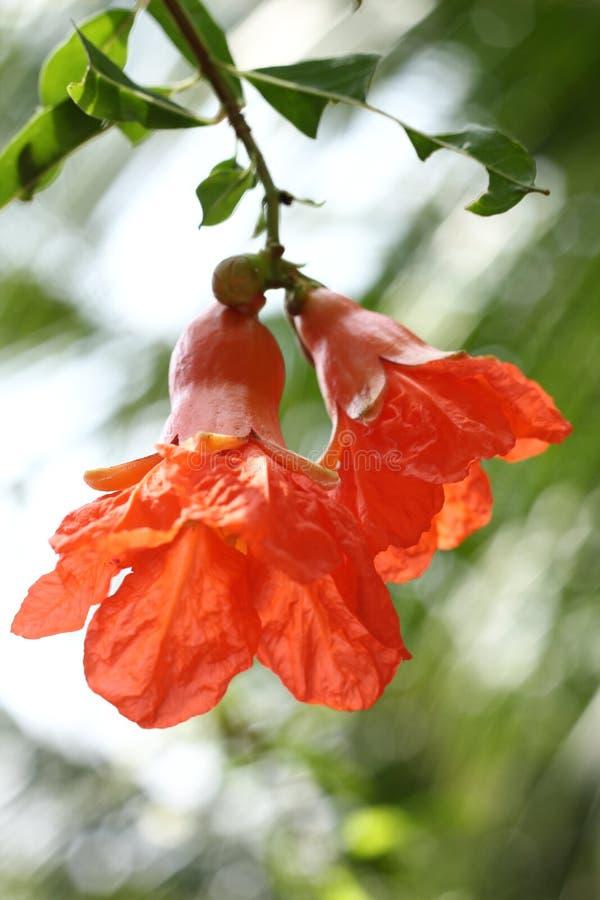 Цветок гранатового дерева стоковые изображения rf
