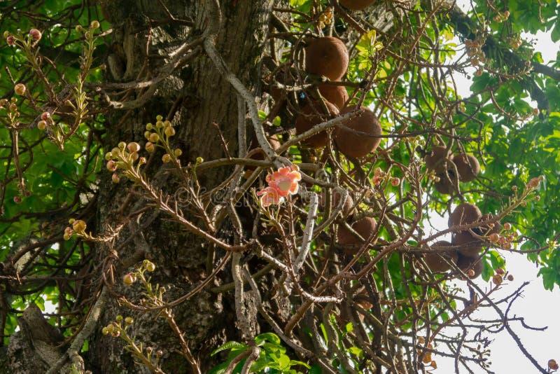 Цветок дерева гайки Бразилии оранжевый стоковое изображение rf