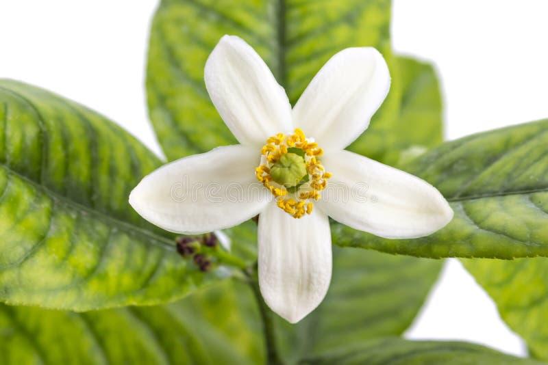 Цветок дерева лимона стоковое изображение rf