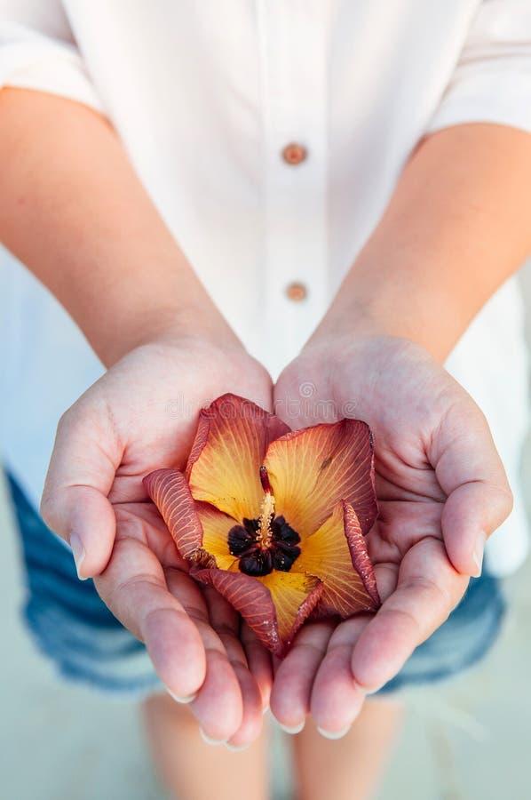 Цветок дерева Portia или индийский цветок тюльпана в руках женщины закрывают u стоковая фотография rf