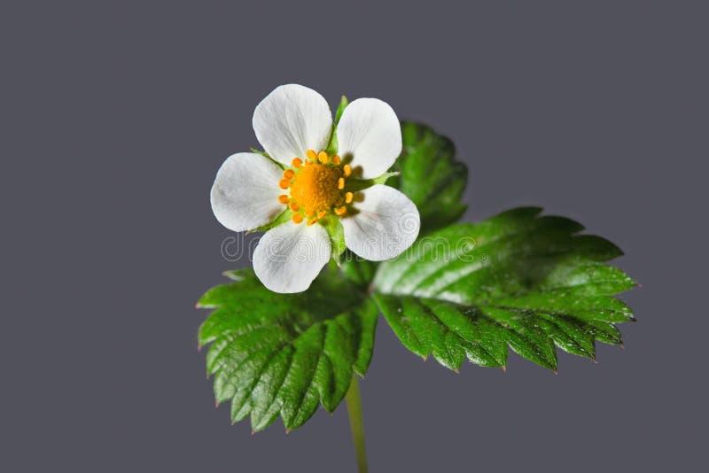 Цветок дикой клубники на серой предпосылке стоковая фотография