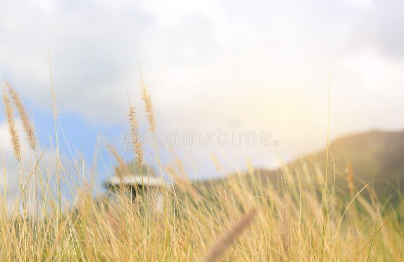 Цветок дикой травы природы Золотой заход солнца в природе поле глубины отмелое стоковое изображение