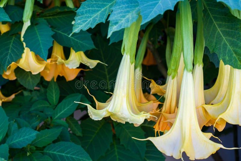 Цветок дурмана swingtime brugmansia дает допинг цветкам вися от ветви стоковые фото