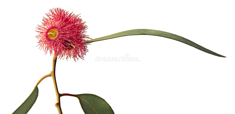 Цветок евкалипта стоковые изображения rf