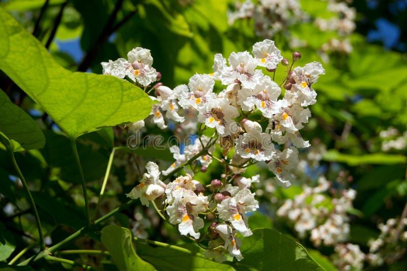 Цветок дерева сигары (bignonioides Catalpa) стоковое изображение rf