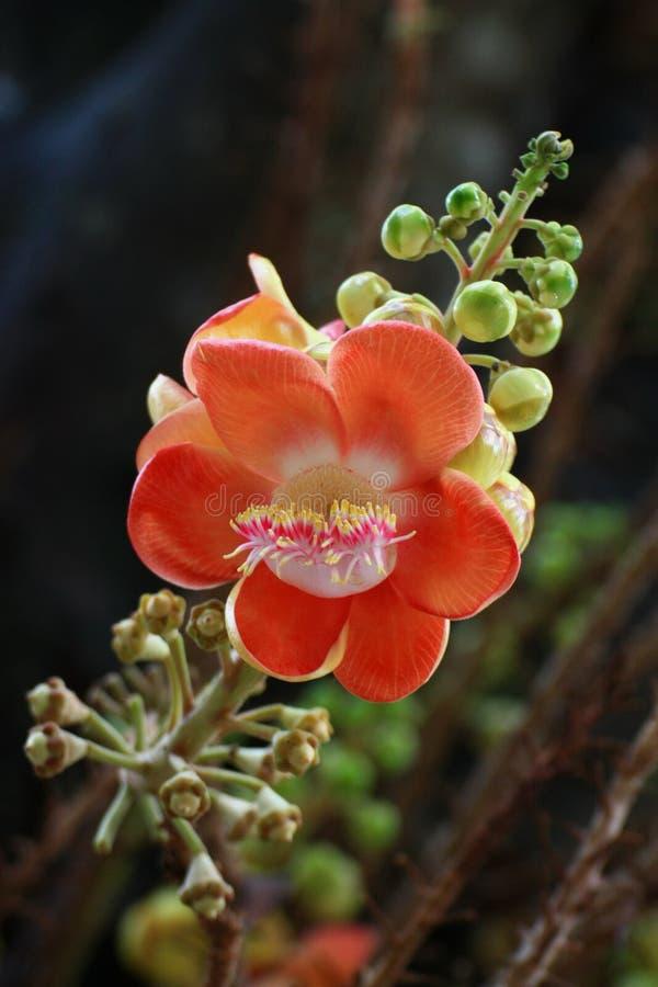 Цветок дерева Canonball стоковая фотография rf