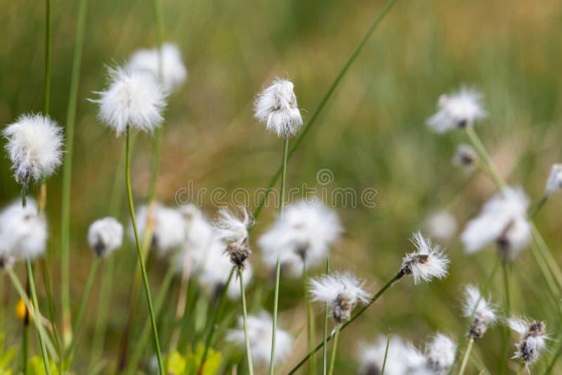 Цветок естественного Eriophorum травы хлопка стоковое фото rf