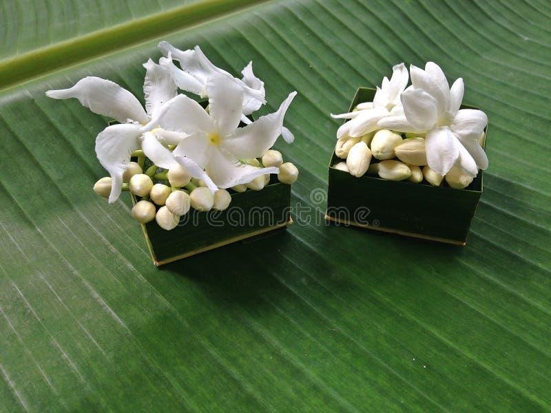 Цветок жасмина и зеленая предпосылка стоковые изображения rf