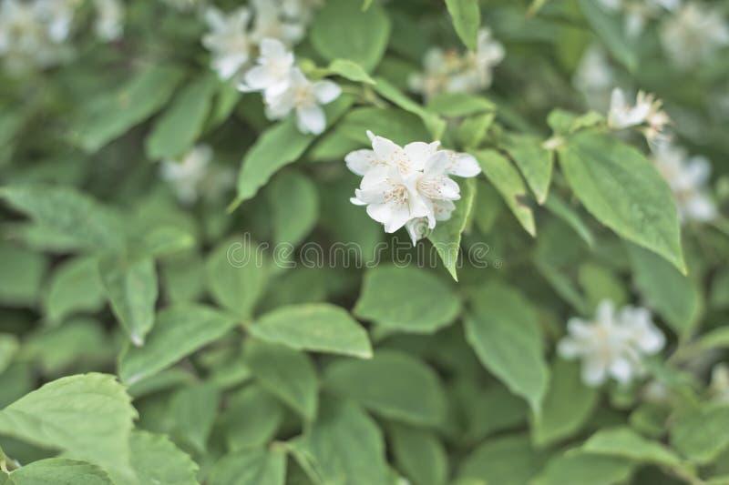 Цветок жасмина стоковая фотография rf