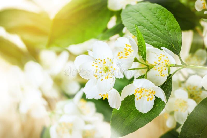 Цветок жасмина стоковое изображение rf