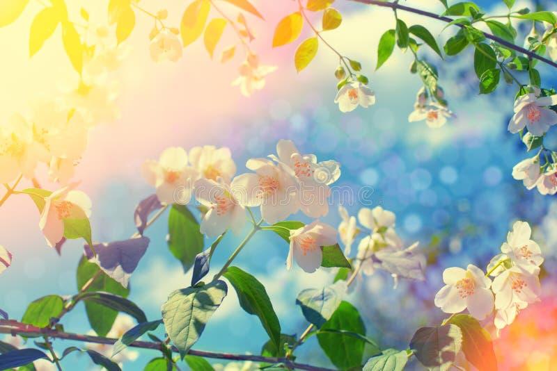 Цветок жасмина стоковое фото