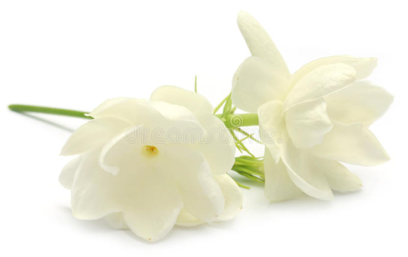 Цветок жасмина стоковое изображение
