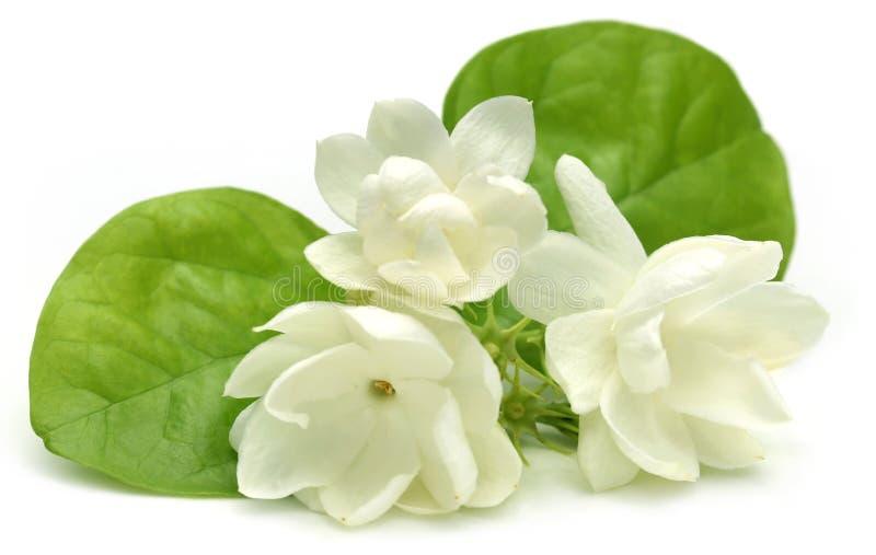 Цветок жасмина стоковое фото rf