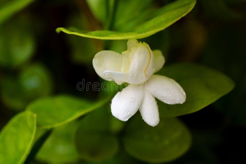 Цветок жасмина стоковая фотография