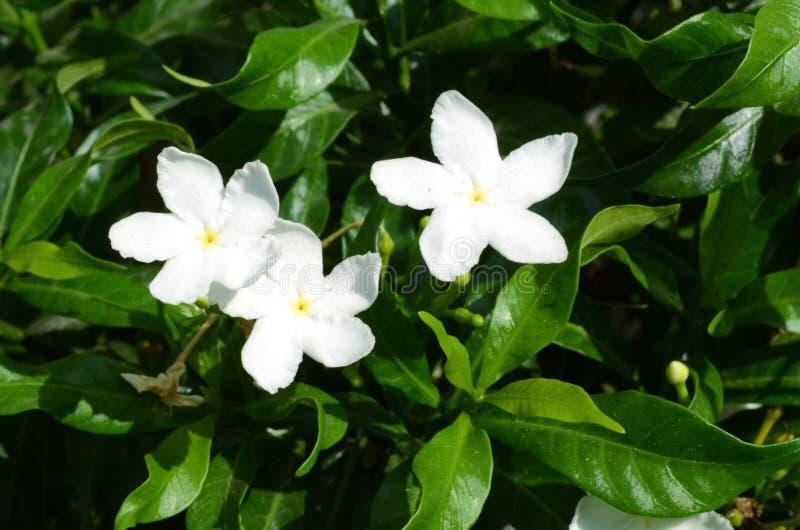 Цветок жасмина Crape Gerdenia стоковые фото